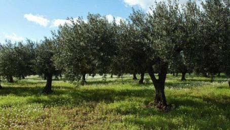 La mosca dell'olivo