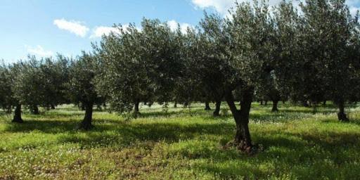 Campo di olivo sano
