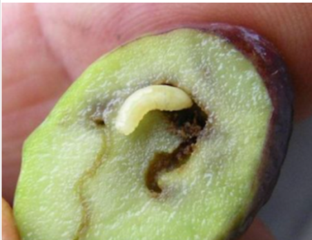 Larva tignola