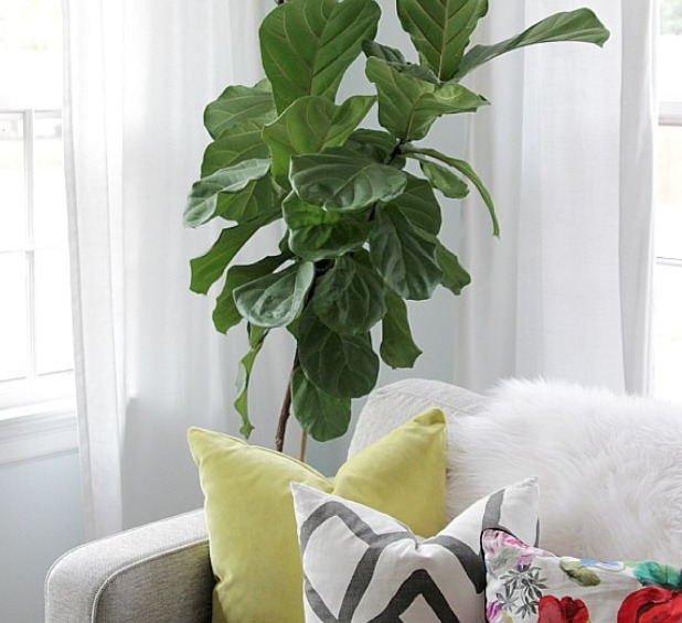 Fig Leaf in the Living Room