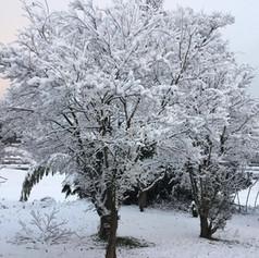 庭の柿の木(冬)