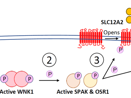The SLC12 Pathway