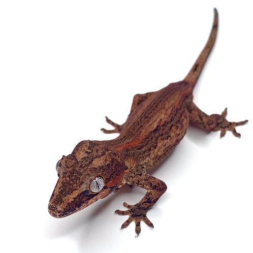 Red Striped Gargoyle Gecko - Male - ID:19FP2M