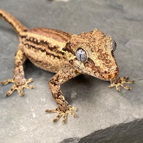 Gargoyle Gecko: Female ID: 19AN2F