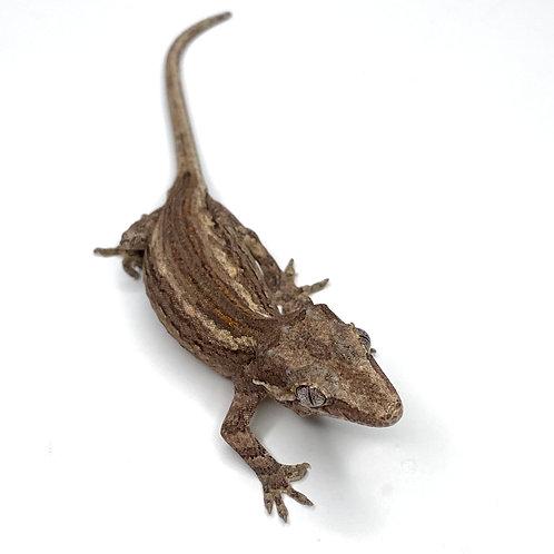 Striped Gargoyle Gecko  - ID:20H1F
