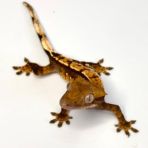 Dark Harlequin Crested Gecko ID: 19CO1