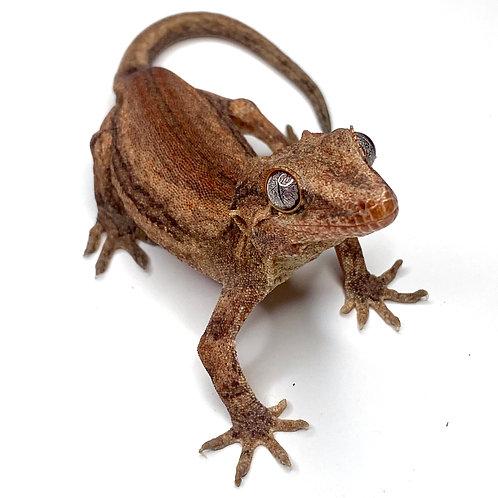 Red Striped Gargoyle Gecko: ID: 19AN1M