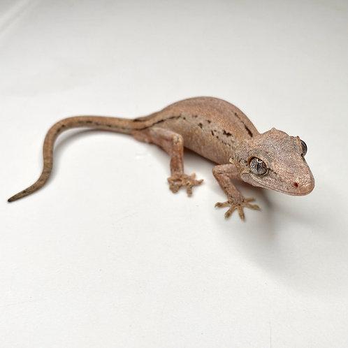 Striped Gargoyle Gecko: ID: 19FY1M
