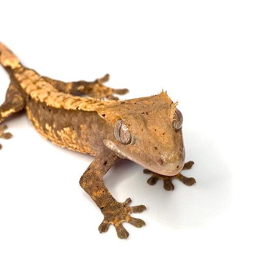 Harlequin Crested Gecko ID: 19BU3