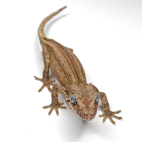 Striped Granite Gargoyle Gecko - Male - ID: 19GT1F