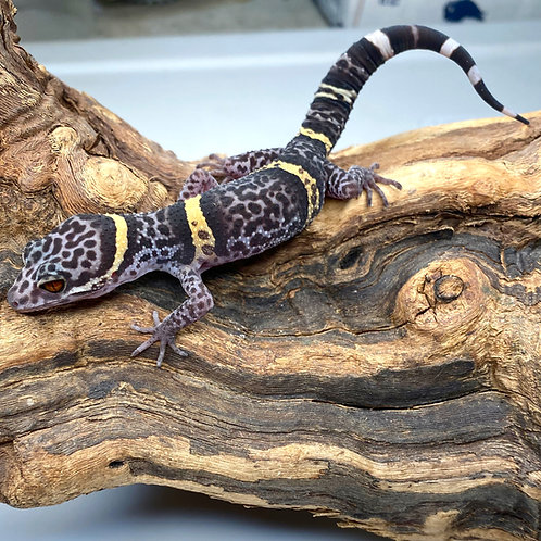 Cave Gecko -Chinese Cave Gecko