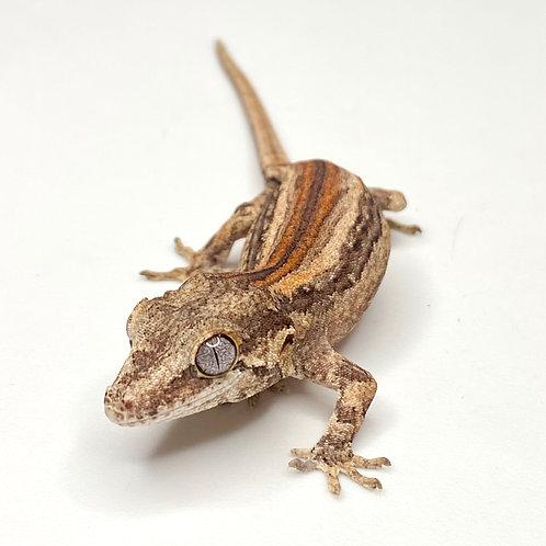 Red Striped Gargoyle Gecko  - ID:20CX2M