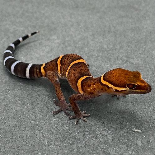 Bawangling Cave Gecko - ID:21CS2M