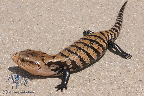 Classic Indonesian Blue Tongue Skink