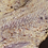 Thumbnail: Striped Gargoyle Gecko  - ID:20BV1