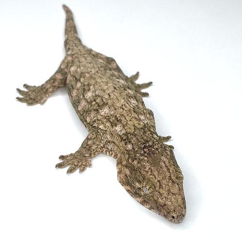 Moro (Isle E) Leachie - Rhacodactylus leachianus  - ID:20BW2