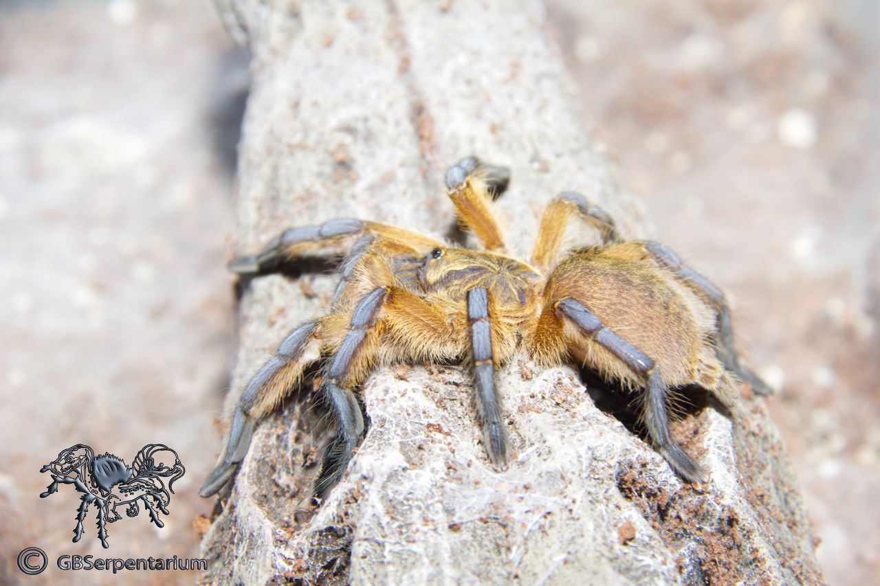 Harpactria pulchripes