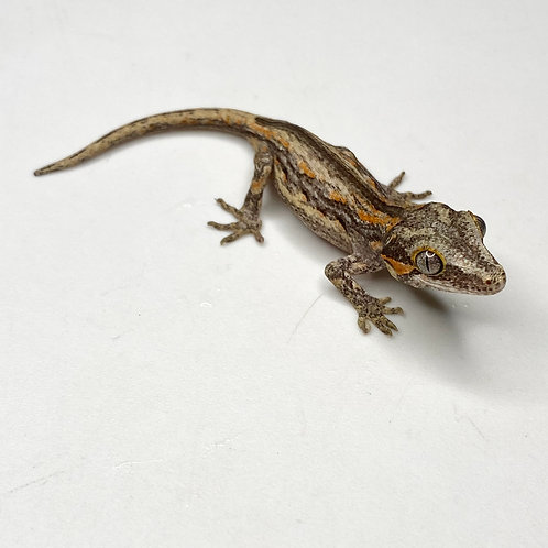 Striped Gargoyle Gecko  - ID:20DP1