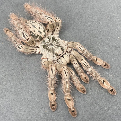 "Heteroscodra maculata 0.75-1"""