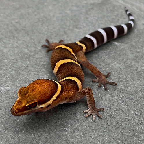 Bawangling Cave Gecko - ID:21ED1 - Unsexed