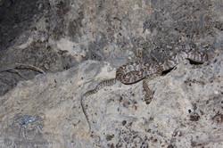 Trimorphodon biscutatus lambda