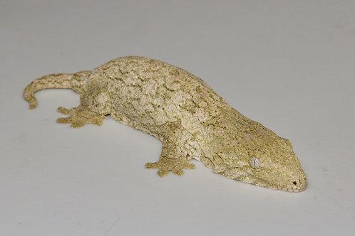 Moro (Isle E) Leachie - Rhacodactylus leachianus  - ID:20EF1