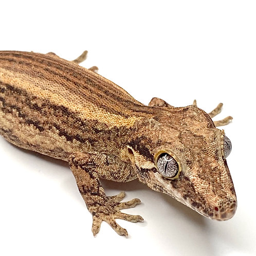 Striped Gargoyle Gecko - Male - ID: 19BK1M