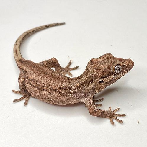 Striped Gargoyle Gecko  - ID:20J2
