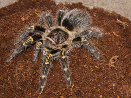 January 2018's Creature Feature: Grammostola pulchripes