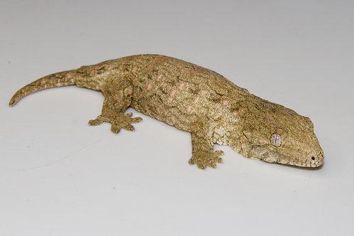 Moro (Isle E) Leachie - Rhacodactylus leachianus  - ID:20EG1