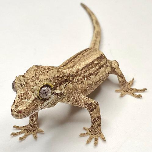 Striped Gargoyle Gecko: ID: 19FY2