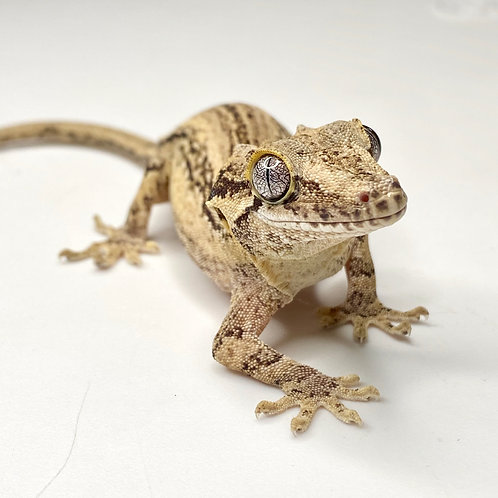 Striped Gargoyle Gecko - Female - ID: 19EH1F