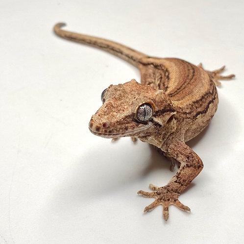 Striped Gargoyle Gecko - Female - ID: 19X2F