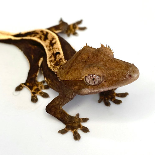 Dark Harlequin Crested Gecko ID: 19EK1