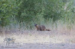 Marmota flaviventris