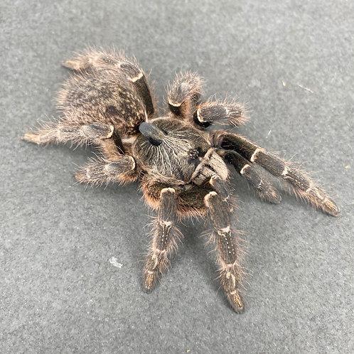 """Ceratogyrus darlingi - 1.5-2"""""""