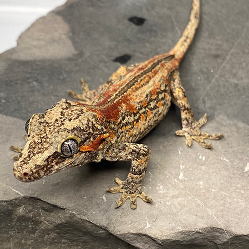 Striped Gargoyle Gecko - Male - 19EI1M*