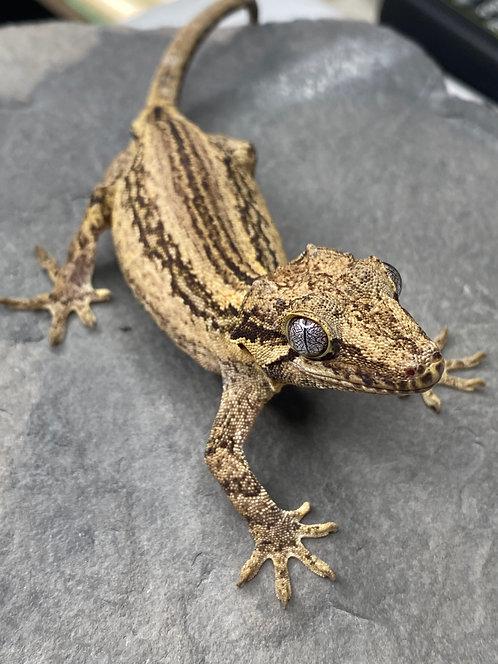 Striped Gargoyle Gecko - Female - ID: 19EH1F