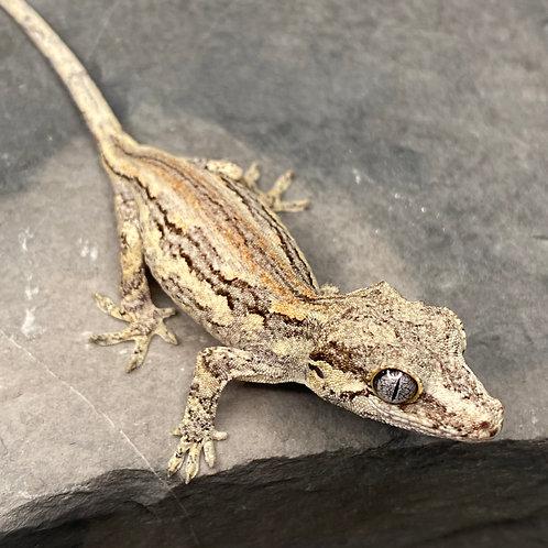 Striped Gargoyle Gecko  - ID:20BV1