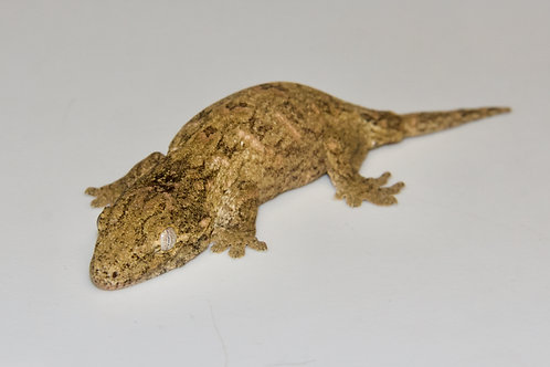 Nuu Ana Leachie - Rhacodactylus leachianus  - ID:20EJ1 - From high pink lines.