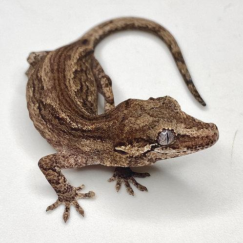 Striped Gargoyle Gecko  - ID:20AZ2