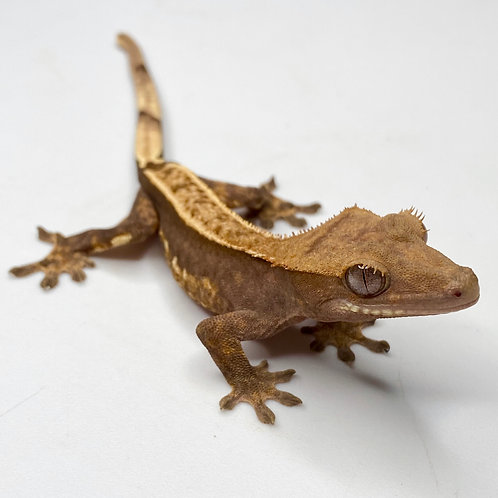 Harlequin Crested Gecko ID: 19FW2