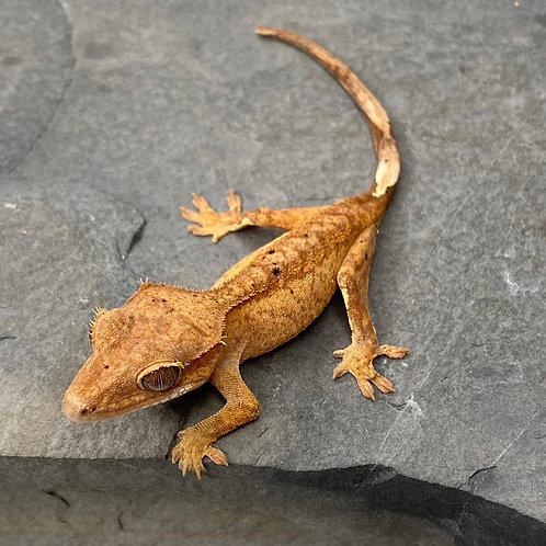 Red Dalmatian Crested Gecko ID: 20AJ1