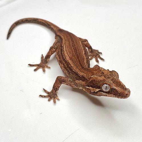 Red Striped Gargoyle Gecko - Male - 19EI2M*