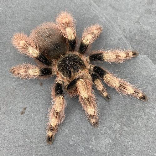 "Nhandu coloratovillosus 3"" Male"