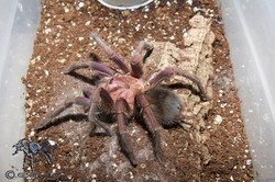 "Phormictopus sp. ""Violet"""