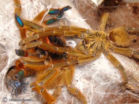 Breeding Report: Pterinochilus murinus