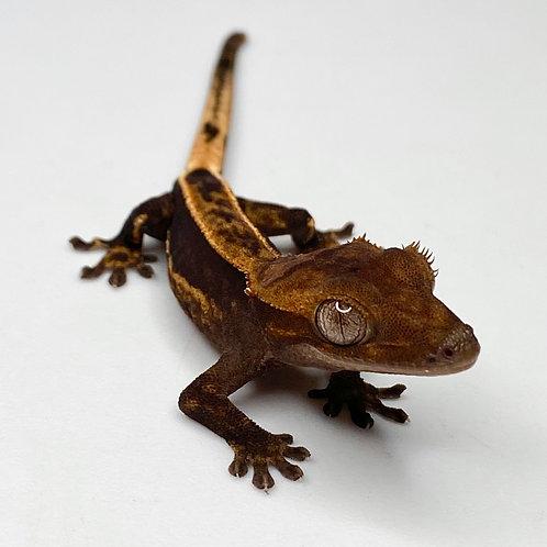 Dark Harlequin Crested Gecko ID: 20N2