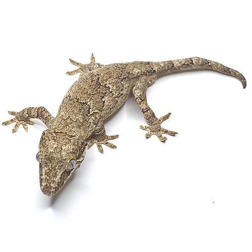 Granite Gargoyle Gecko - Male - ID: 19L1M -Tail Imperfection