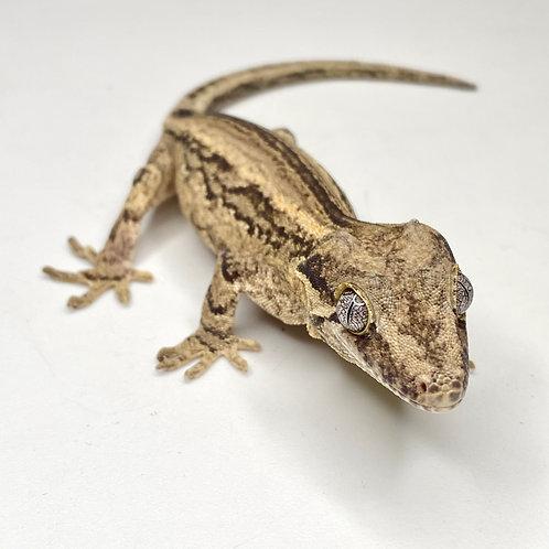 Striped Gargoyle Gecko - Male - ID: 19EG2M